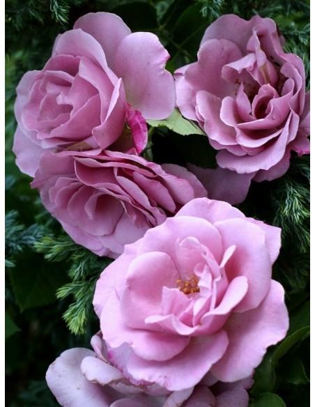 mody blue niebieskie róże