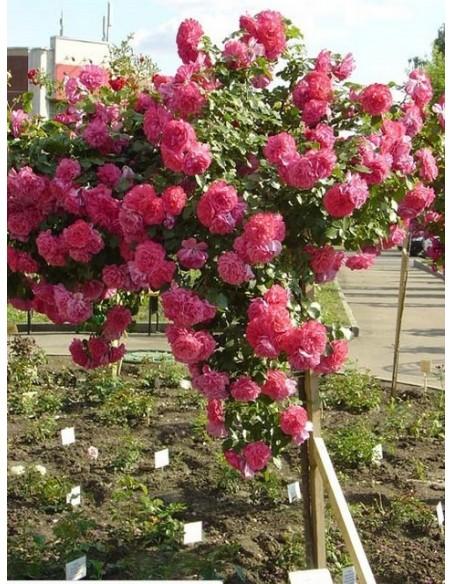 róża na nodze rosarium