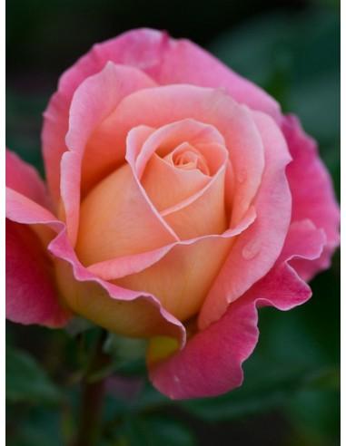Audrey Wilcox róże wielkokwiatowe