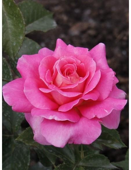 Audrey Wilcox wielkokwiatowe róże