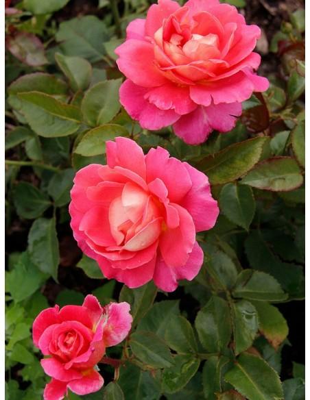 wielkokwiatowe róże Audrey Wilcox