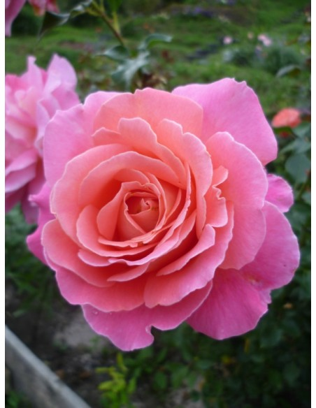 róże wielkokwiatowe Audrey Wilcox