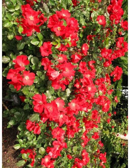 Robusta róże dzikie