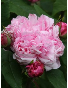 JACQUES CARTIER róże historyczne