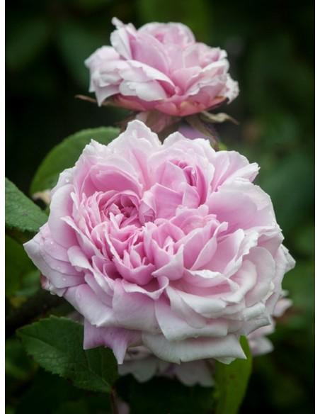 JACQUES CARTIER historyczne róże