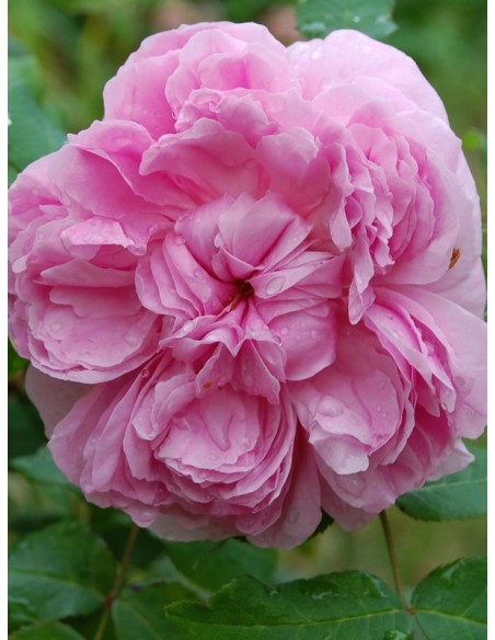 róże historyczne JACQUES CARTIER