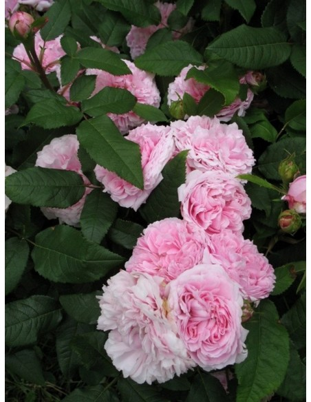historyczne róże JACQUES CARTIER