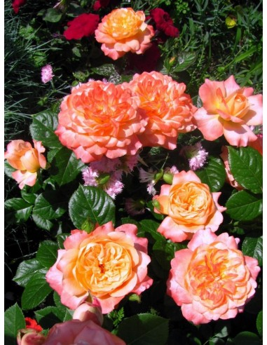 Samaritan herbaciane róże wielkokwiatowe