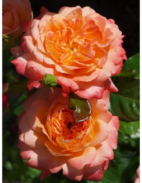 Samaritan róże wielkokwiatowe