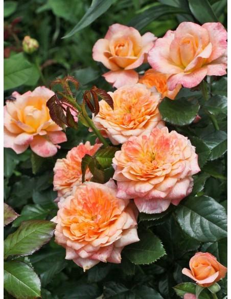 Samaritan wielkokwiatowe róże