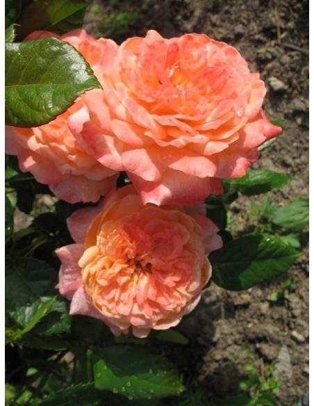 wielkokwiatowe róże Samaritan