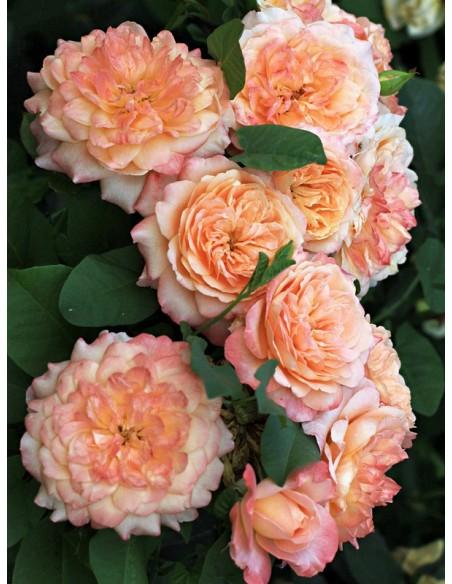 róże wielkokwiatowe Samaritan