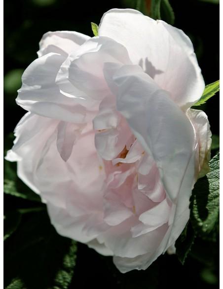 róże dzikie SNOW PAVEMENT