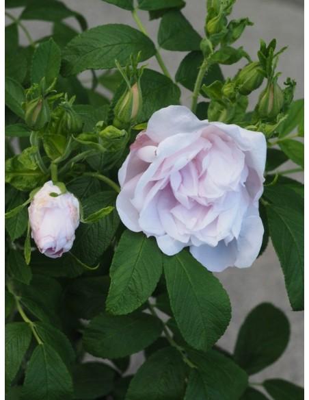 dzikie róże SNOW PAVEMENT