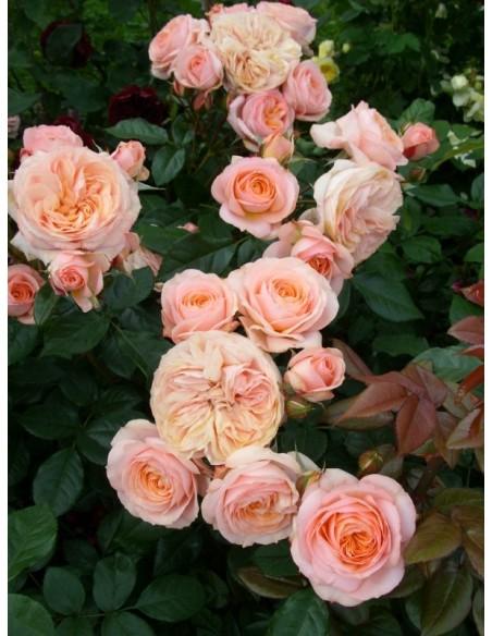 Sourire du Havre róże wielkokwiatowe