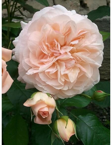róże wielkokwiatowe Sourire du Havre