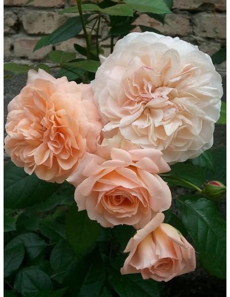 wielkokwiatowe róże Sourire du Havre