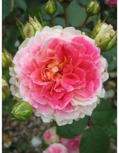 Cesar róże pnące