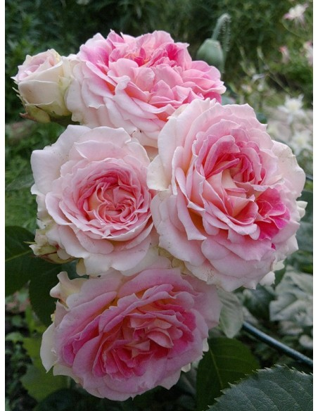 Cesar pnące róże