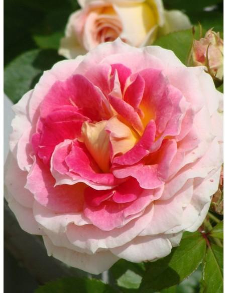 Cesar wielobarwne róże pnące