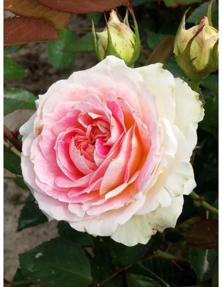 róże pnące Cesar