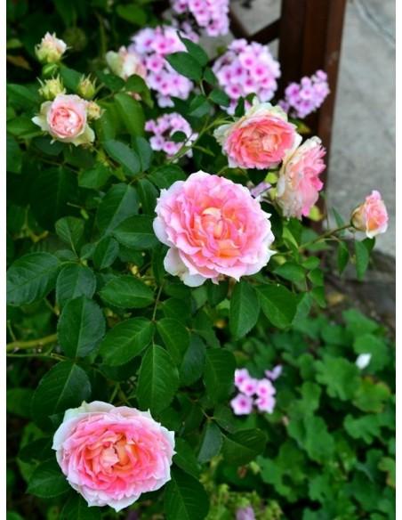 Cesar roze pnące