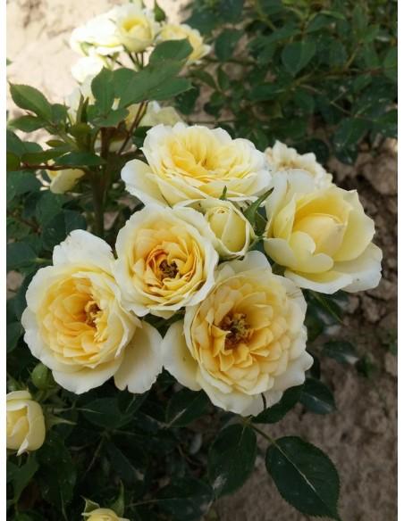sweet memories miniaturowe róże