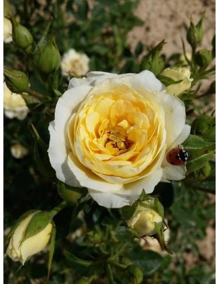 róże miniaturowe sweet memories