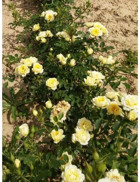 miniaturowe róże sweet memories