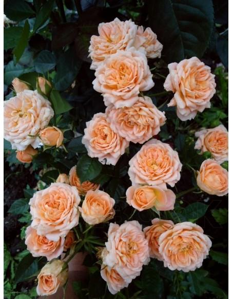 Sweet Dream róże miniaturowe