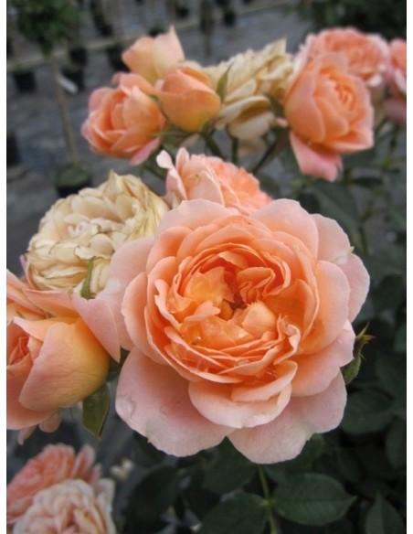 Sweet Dream miniaturowe róże
