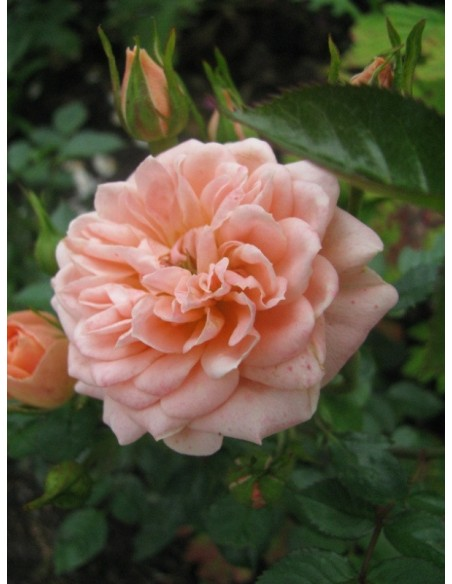 róże miniaturowe Sweet Dream