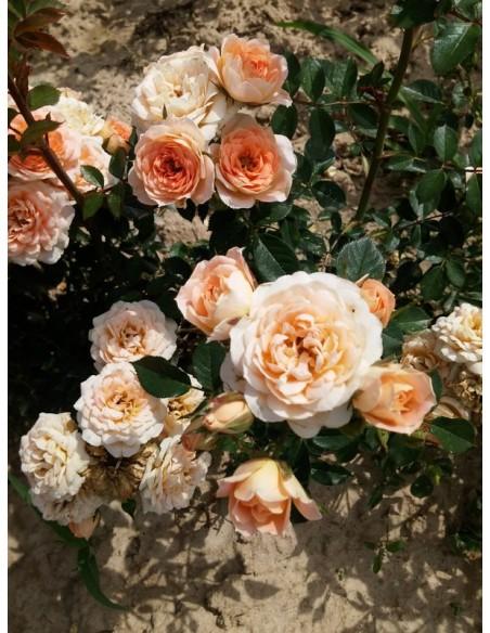 miniaturowe róże Sweet Dream