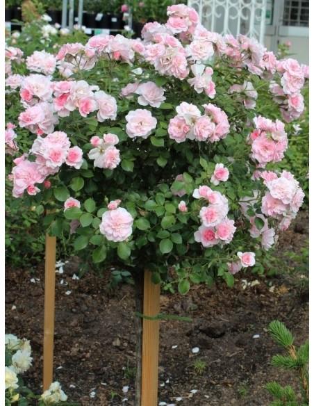 roza pienna Bonica 82