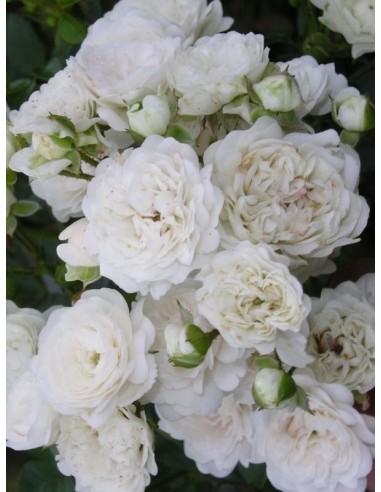 White Fairy róże miniaturowe