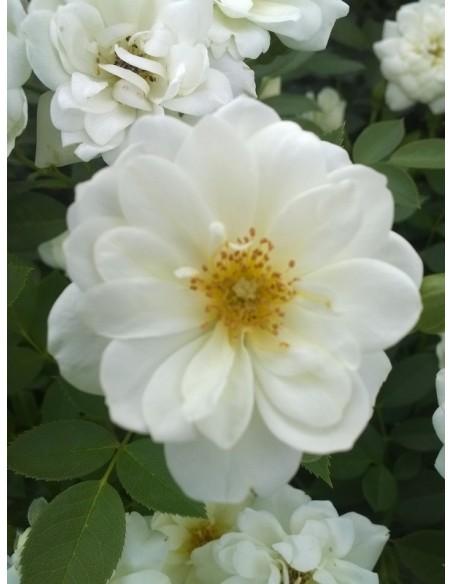 róże miniaturowe White Fairy