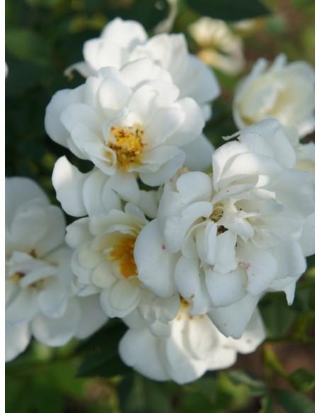 miniaturowe róże White Fairy