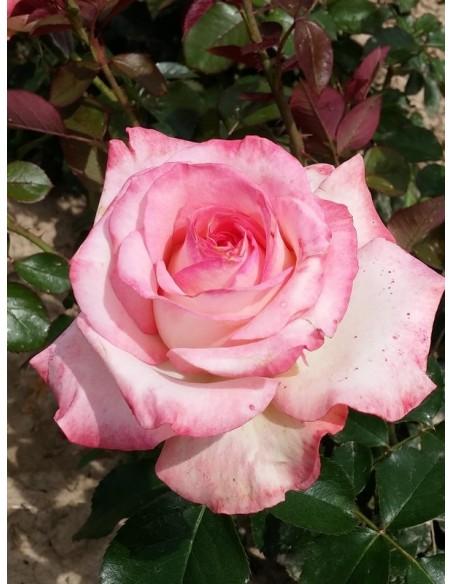 Isabelle Aubret róże wielkokwiatowe