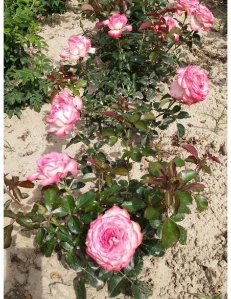 Isabelle Aubret wielkokwiatowe róże