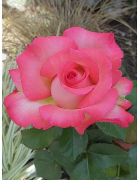 wielkokwiatowe róże Isabelle Aubret