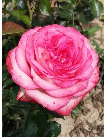 róże wielkokwiatowe Isabelle Aubret