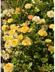 Yellow Fairy żółte okrywowe róże