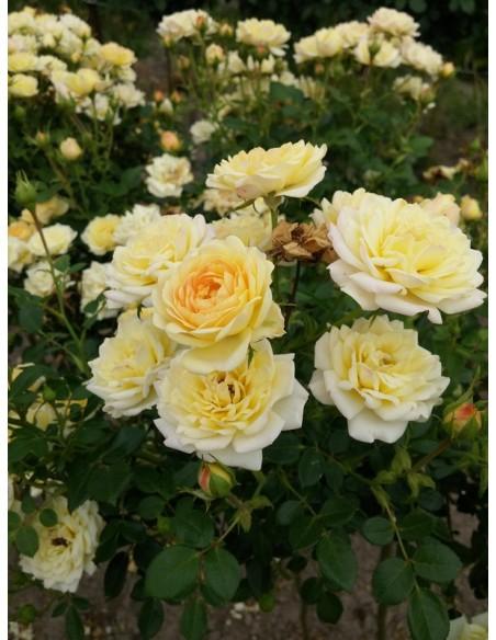 żółte okrywowe róże Yellow Fairy