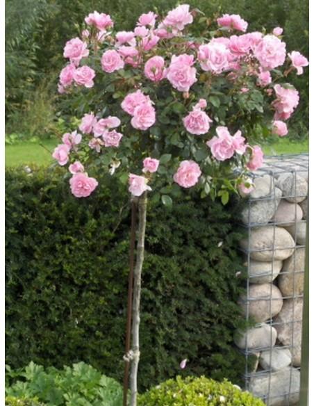 róża na pniu bonica 82