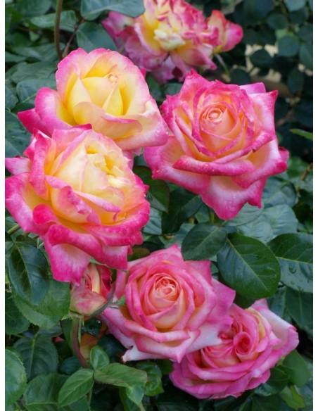 Orient Express róże wielokwiatowe