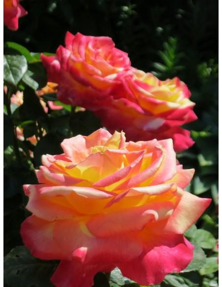 Orient Express wielokwiatowe róże
