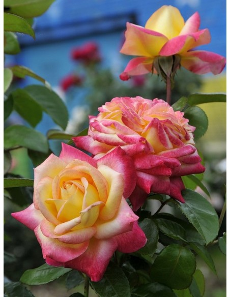 wielokwiatowe róże Orient Express