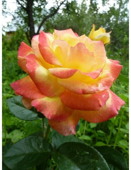 Orient Express wielobarwne róże wielokwiatowe
