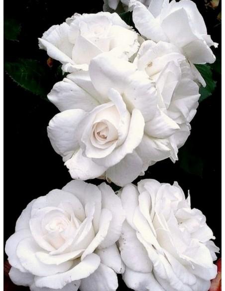 Annapurna róże wielkokwiatowe