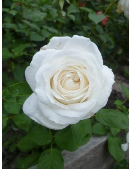 Annapurna białe róże wielkokwiatowe